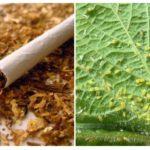 Tabac à pucerons
