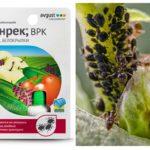 Tankek remède contre les pucerons