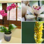 Puceron sur une orchidée