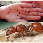 Morsure de fourmi rouge