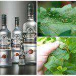 La vodka dans la lutte contre les pucerons