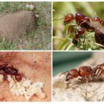 Habitat fourmi rouge