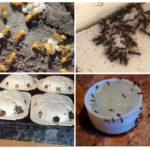 Combattre les fourmis jaunes