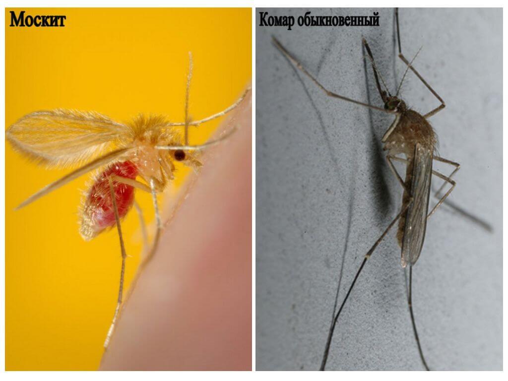 Moustique et moustique ordinaire