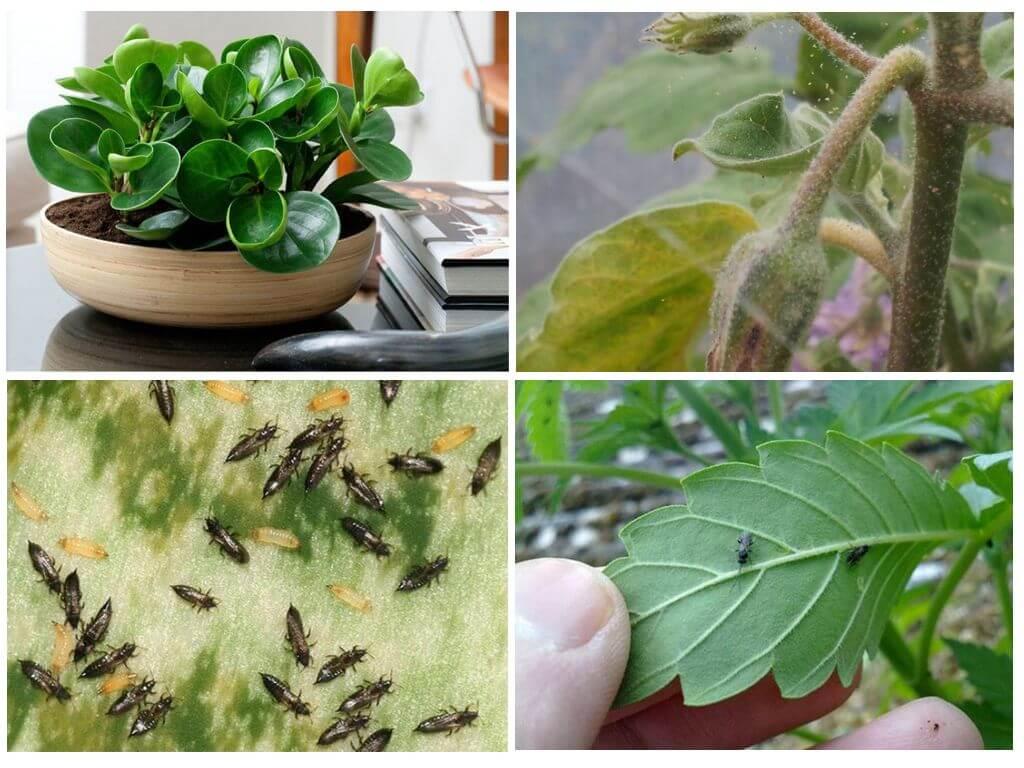 Tétranyque, thrips et moustiques champignons