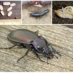 Reproduction et développement du scarabée