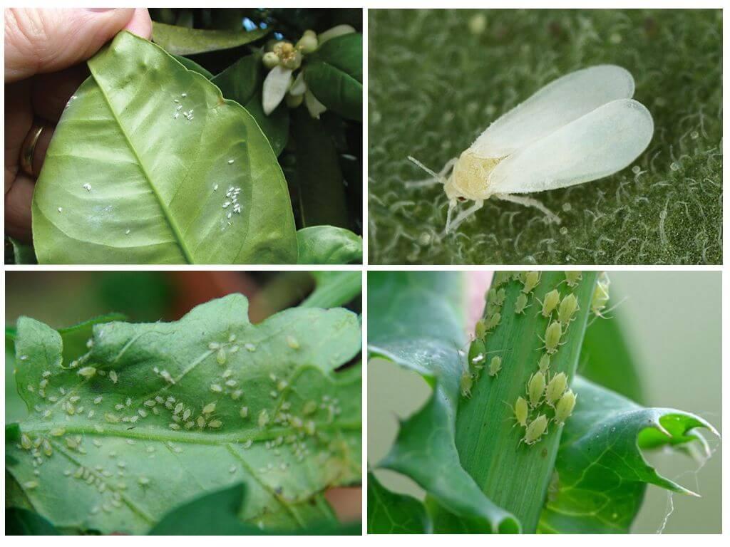 Aleurodes et pucerons sur les plantes d'intérieur
