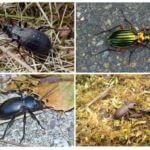 Variétés de Coléoptères