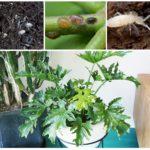 Rootworms, faux et blanc fou