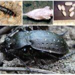 Reproduction du grand coléoptère noir