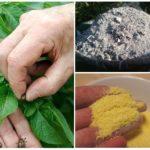Combattre le doryphore de la pomme de terre sans chimie