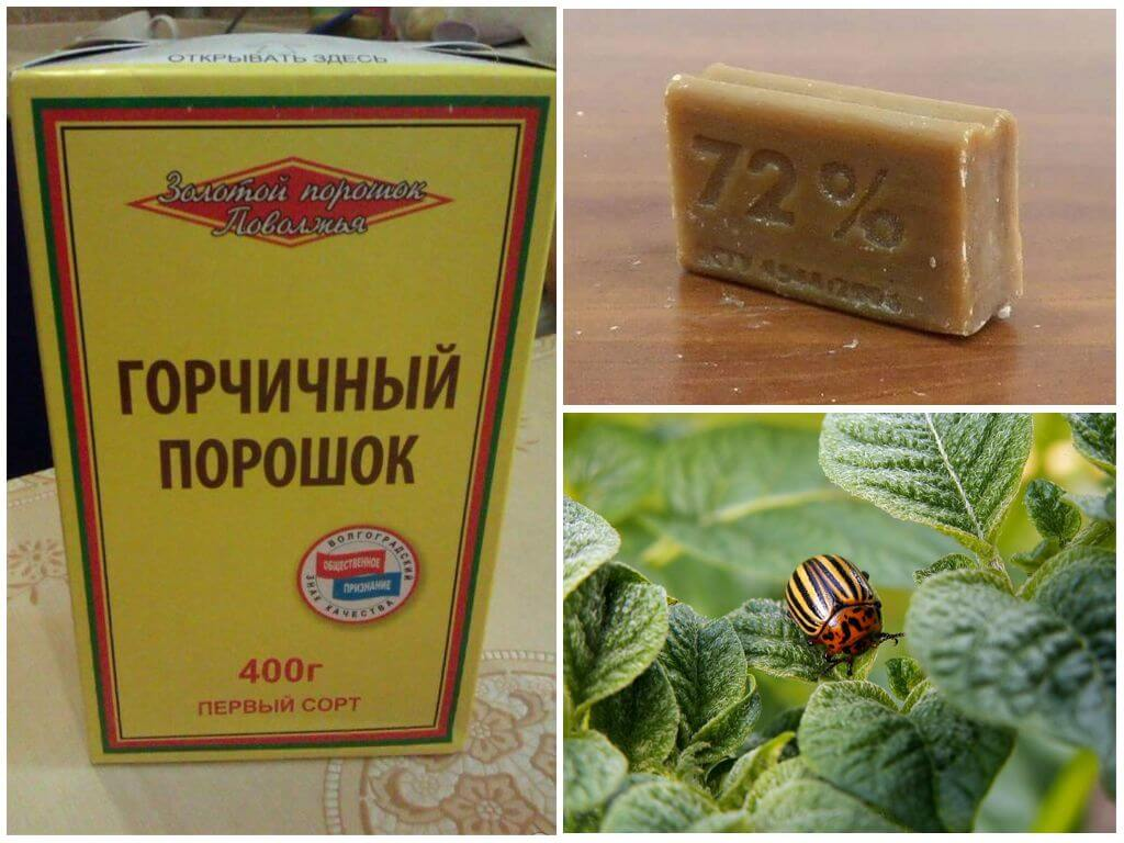 Moutarde du doryphore