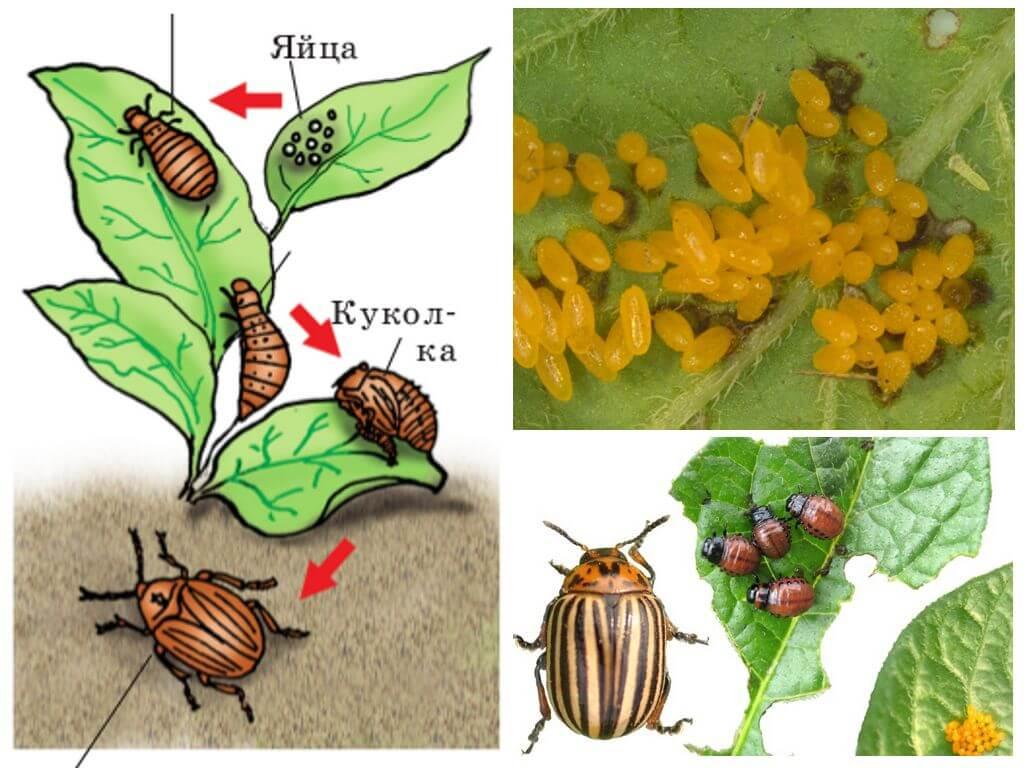 Cycle de vie du doryphore colorado