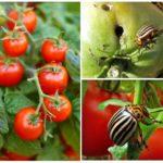 Doryphore sur tomates