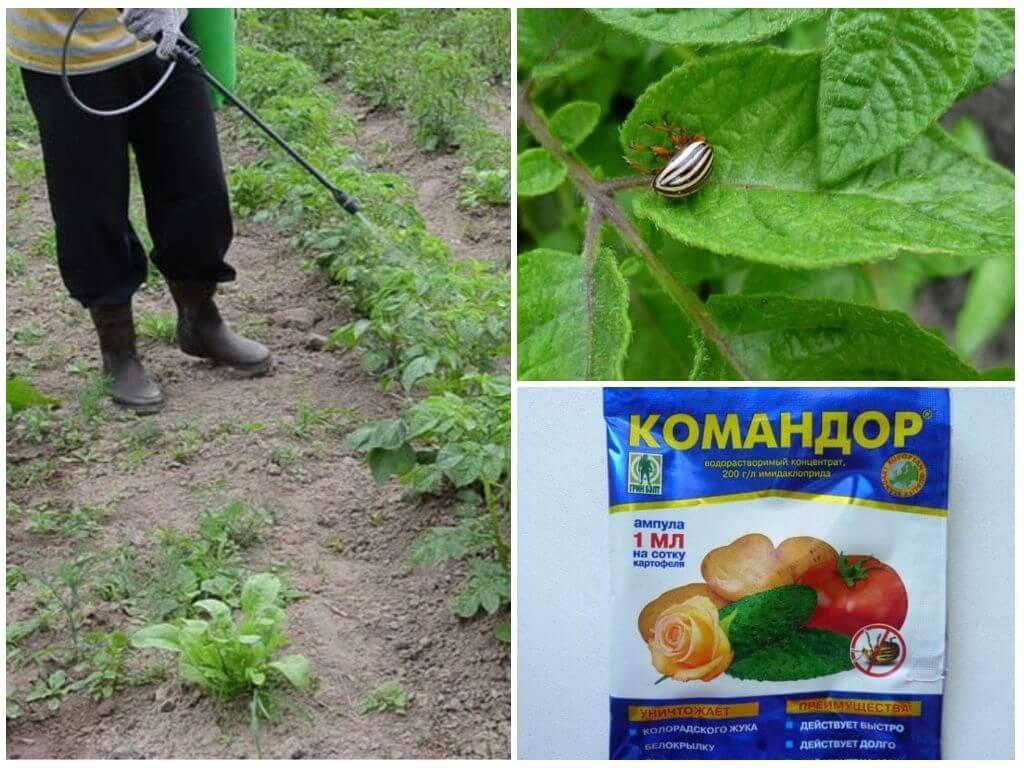 Utilisation du médicament Commander du doryphore de la pomme de terre