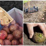 Pommes de terre avant la plantation
