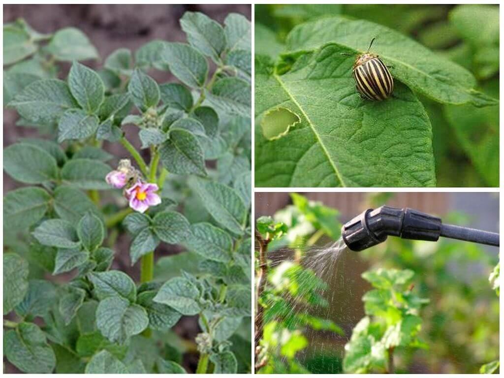 Traitement de la pomme de terre pendant la floraison