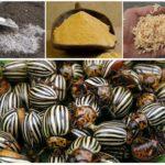 Moyens d'épousseter les aubergines du doryphore de la pomme de terre