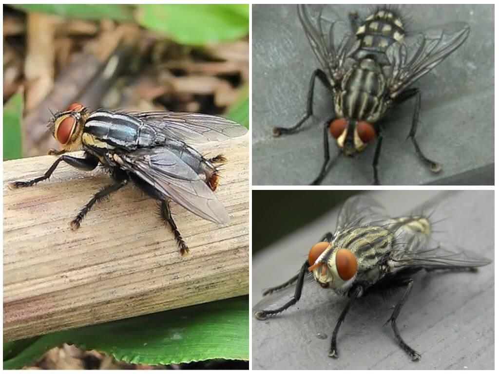 Gadfly peau humaine