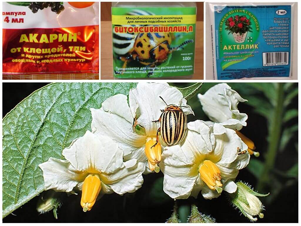 Préparatifs pour la lutte contre le doryphore de la pomme de terre