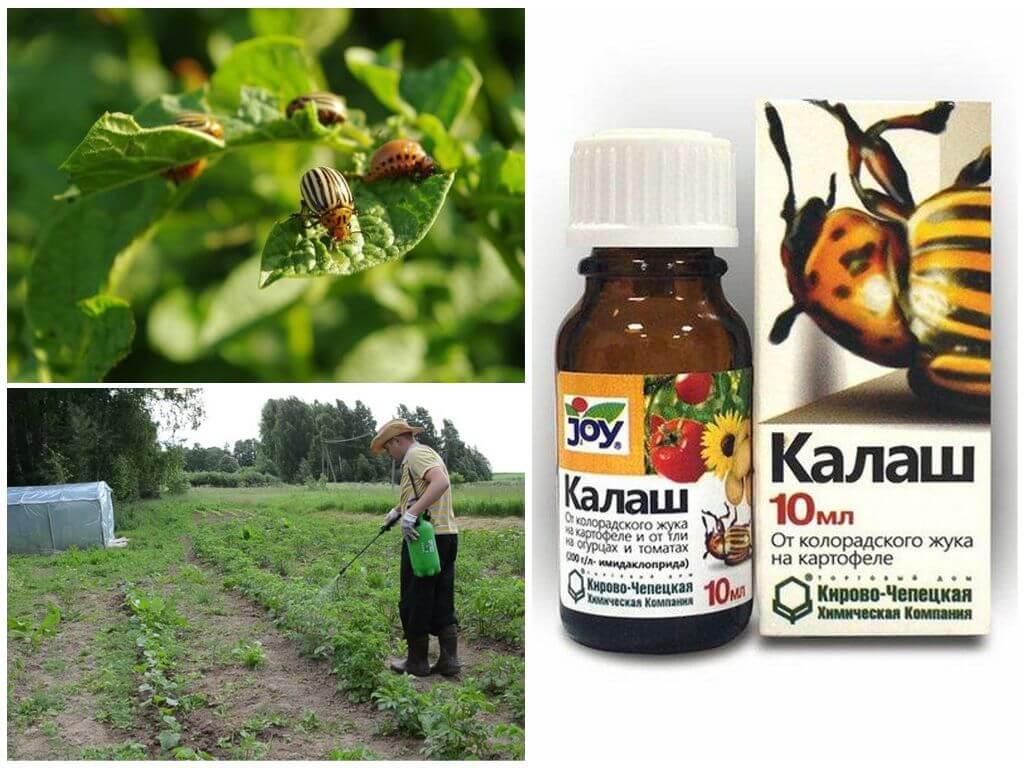 L'utilisation du médicament Kalash du doryphore de la pomme de terre