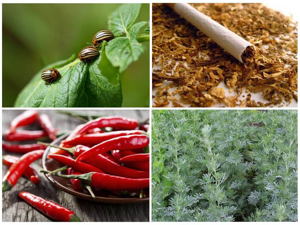 Remèdes traditionnels pour le doryphore de la pomme de terre