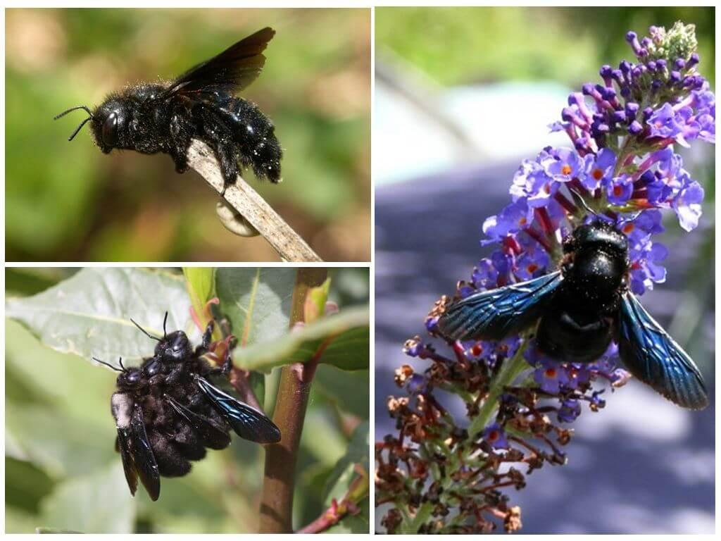 Charpentier bourdon violet (bleu)