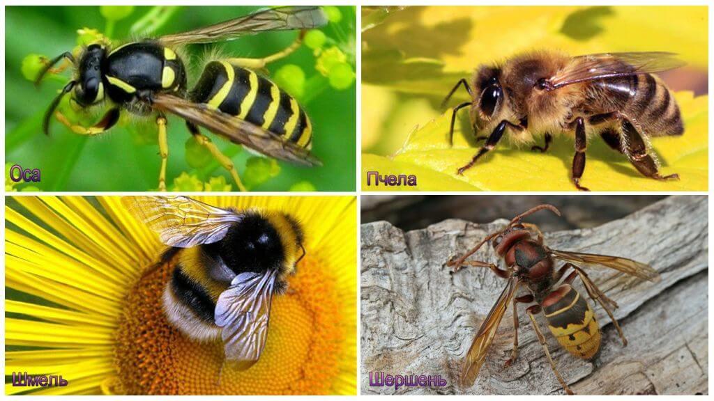 Différence d'un bourdon, frelon, guêpe, abeille