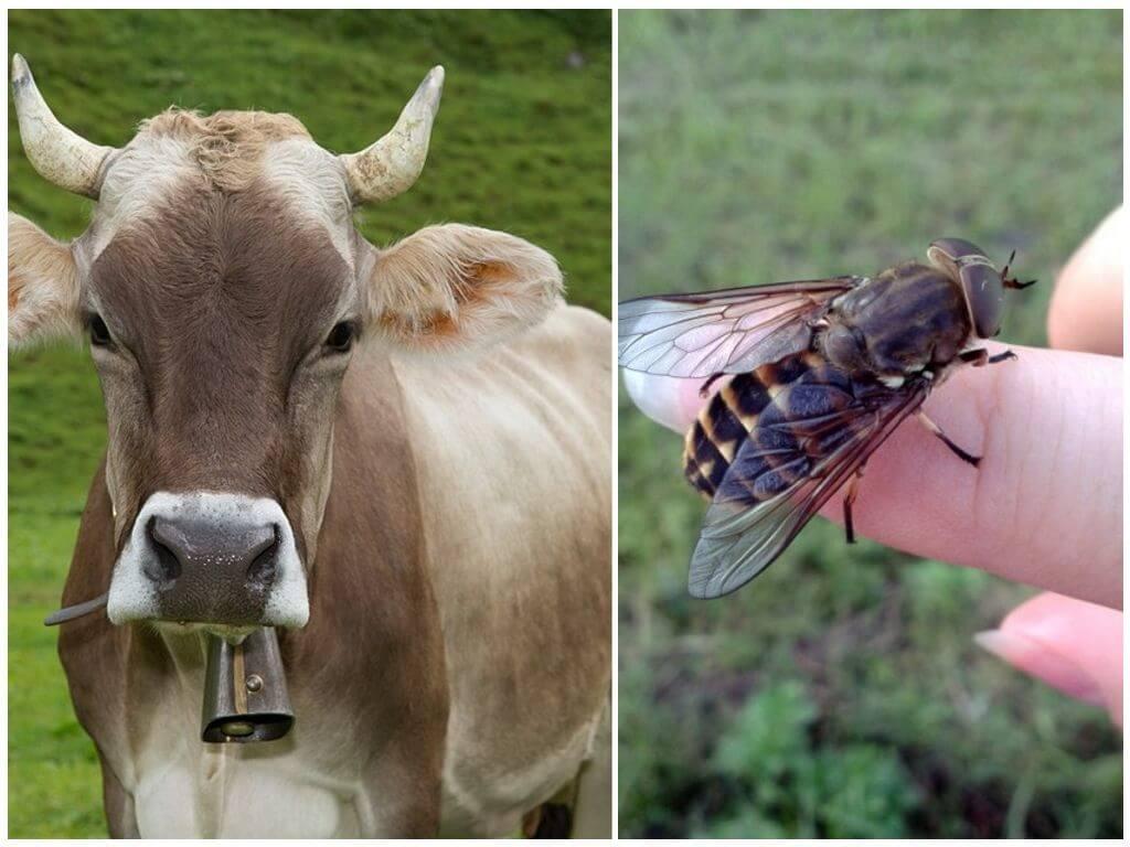 Vache et mouche