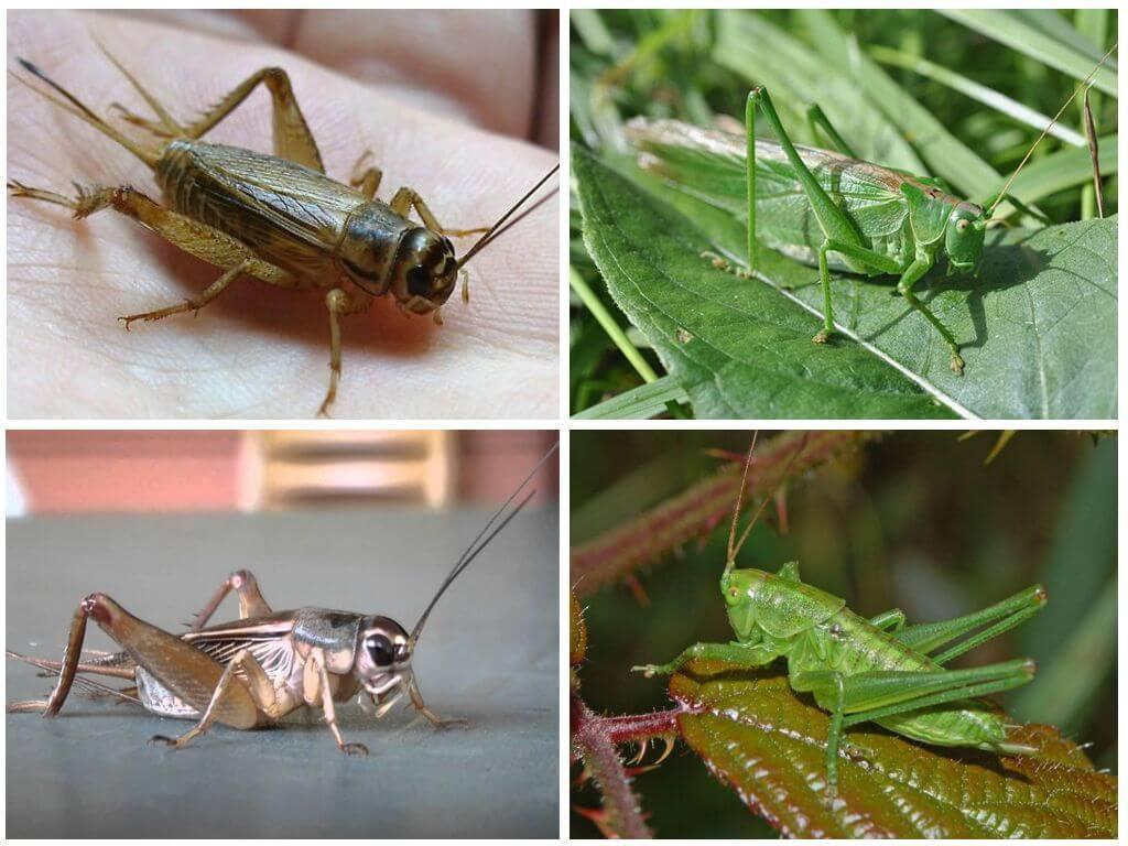 Cricket et sauterelle