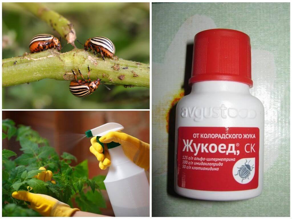 Application du coléoptère du doryphore de la pomme de terre