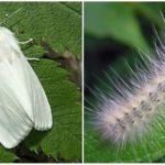 Papillon blanc américain