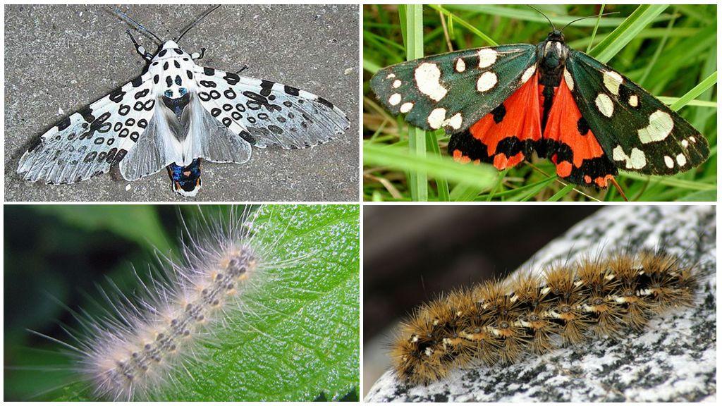 Ours papillon