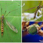 Moustiques Attrapants