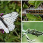 Caterpillar et l'aubépine papillon