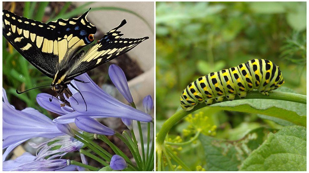 Papillon noir queue d'aronde