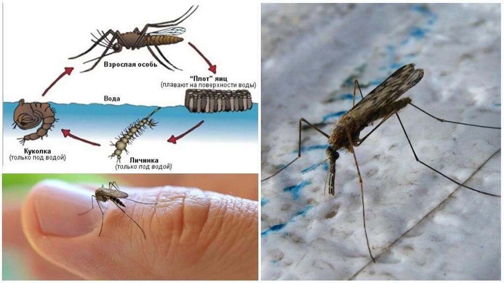 Cycle de reproduction du moustique anophèle