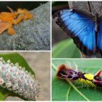 Dalcerida et sa chenille à gauche, morpho bleu et sa larve à droite
