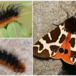 Ours Papillon Kaya