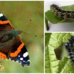 Papillon Chenille Amiral