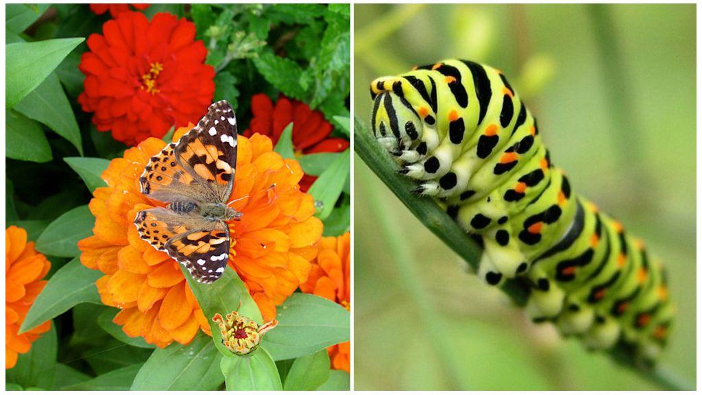 Papillon machaon et sa chenille
