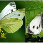 Chou papillon