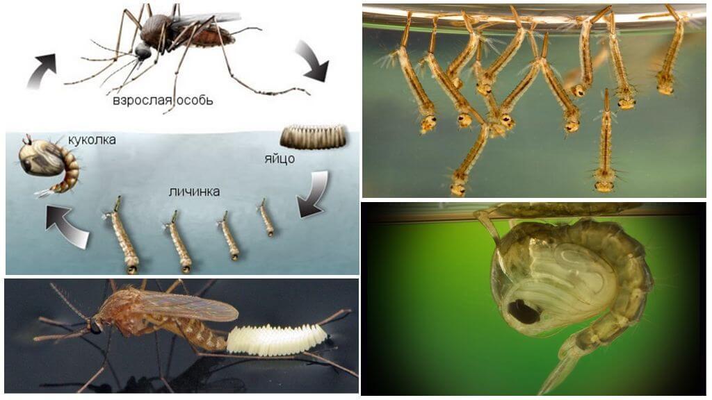 Cycle de reproduction des moustiques