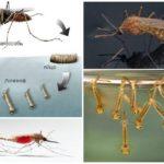 Élevage de moustiques