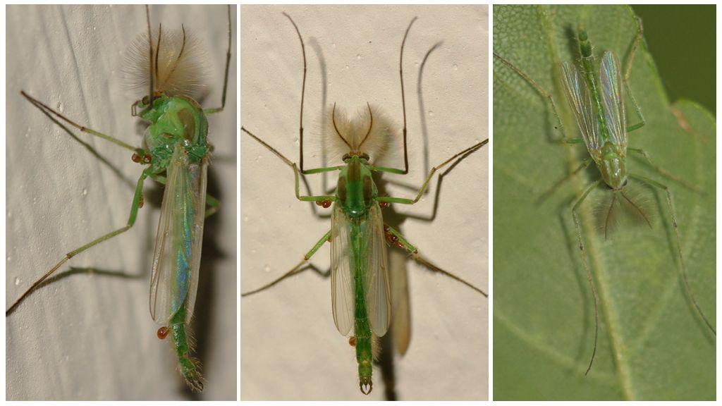 Moustique verte