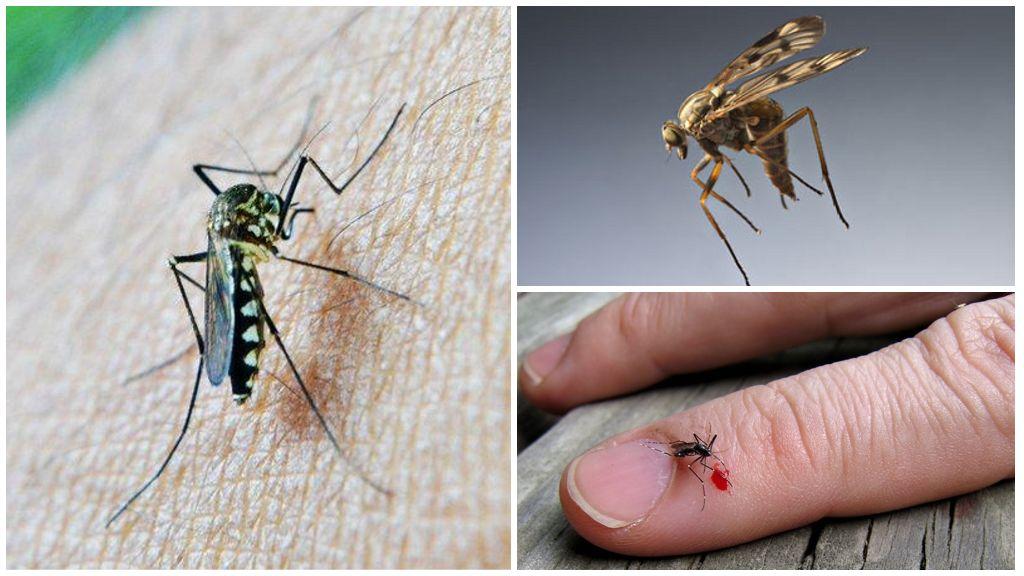 Groupe sanguin et moustiques
