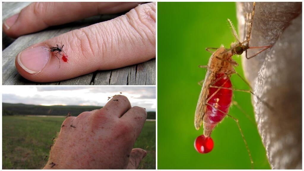Les moustiques boivent du sang