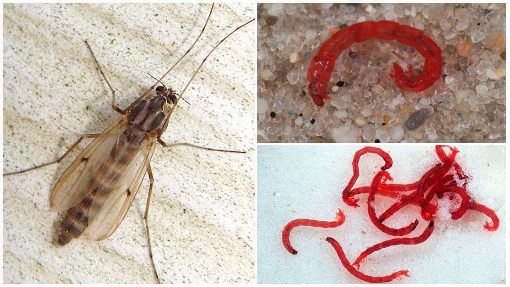 Larves du moustique commun (ver de sang)