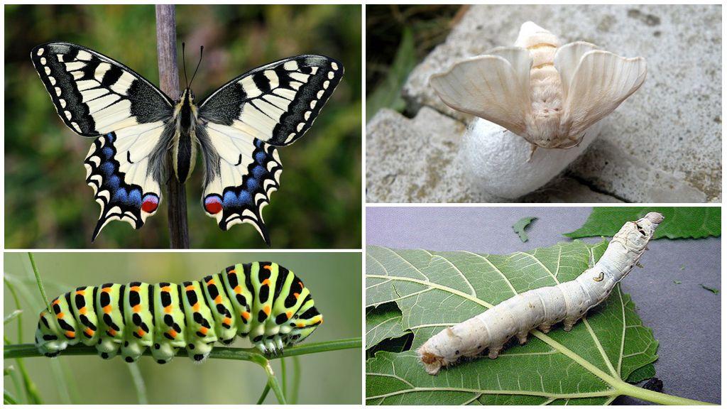 Machaon et sa chenille à gauche, le ver à soie et sa larve à droite