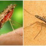 Moustique du paludisme